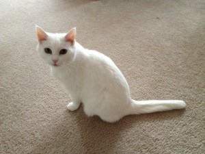 A little white cat with a short tail